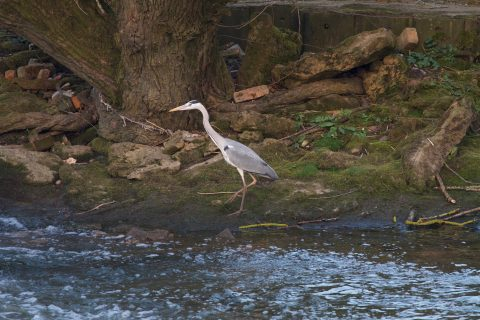 Heron Luddingtom