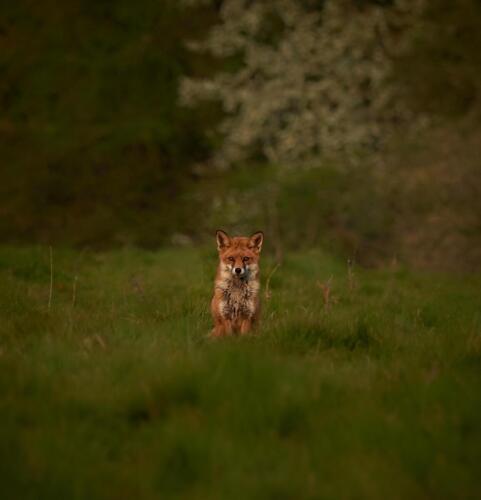Dave Heyworth - Shhh its a fox